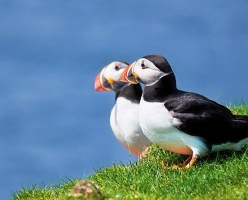 Puffins sharing some sunshine - can be seen ver NC500